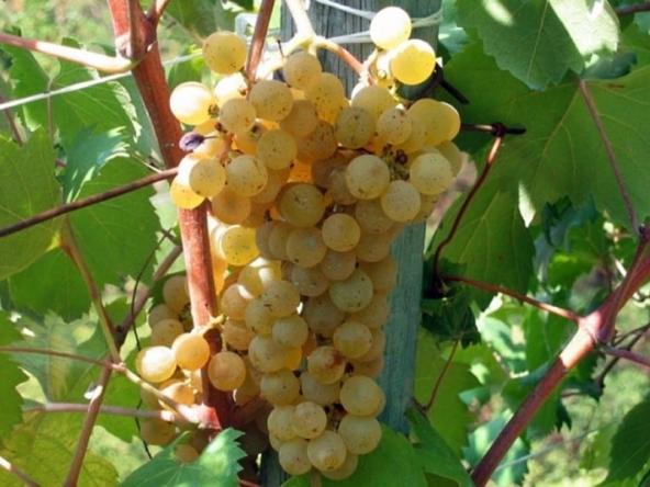 vinogradnik v italii – Виноградник в Италии