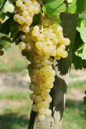 prazdnik vinograda v marino 3 – Средневековая вилла в долине Кьянти